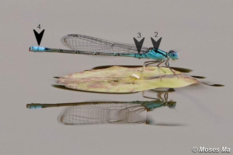 黑背尾蟌 Eastern Lilysquatter
