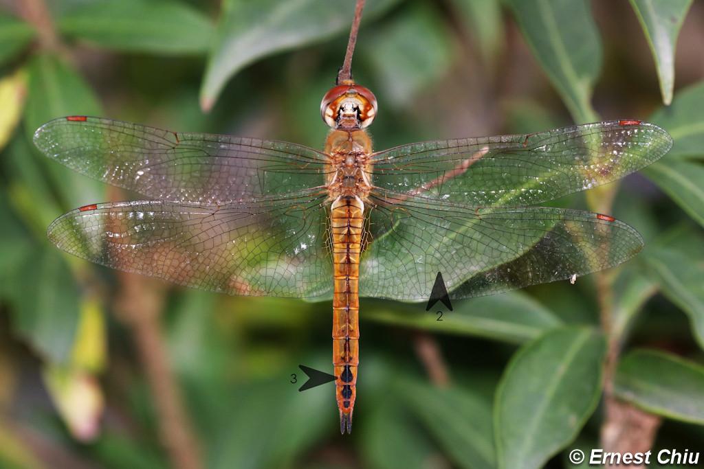 黃蜻 Wandering Glider