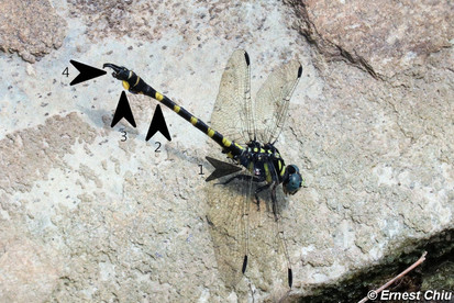 鈎尾副春蜓 Tawny Hooktail