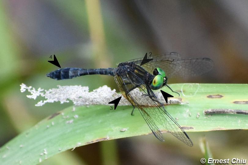 膨腹斑小蜻 Emerald Dwarf