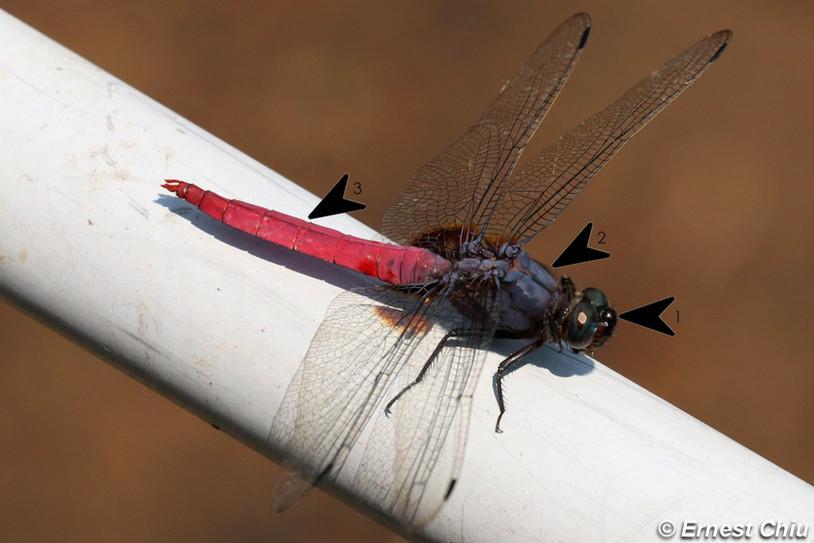 赤褐灰蜻 Common Red Skimmer