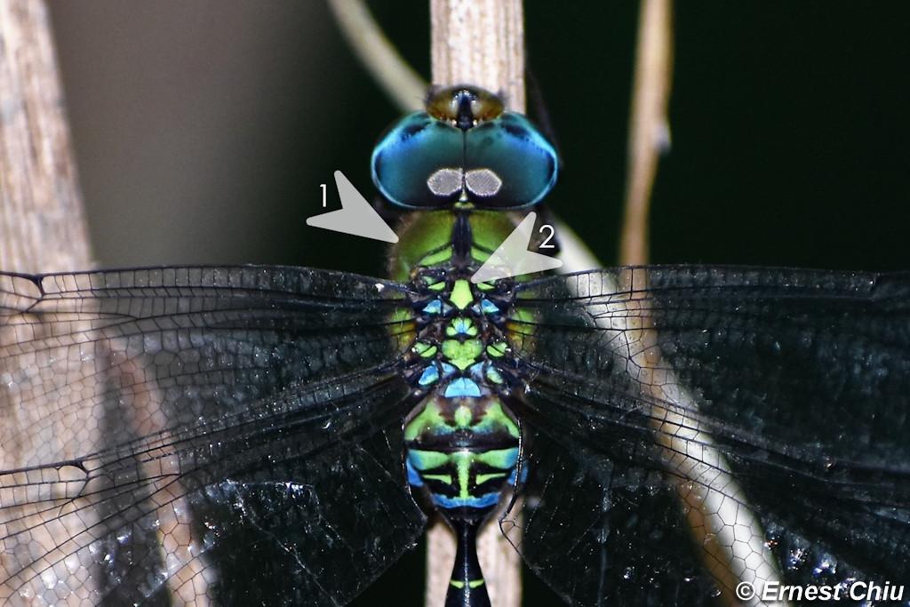 日本長尾蜓 Blue-spotted Dusk-hawker