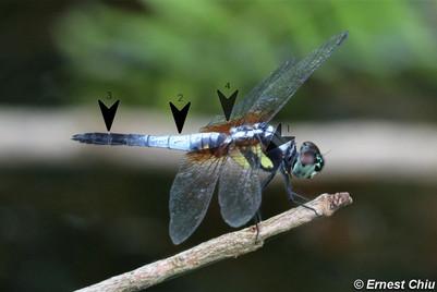 藍額疏脈蜻