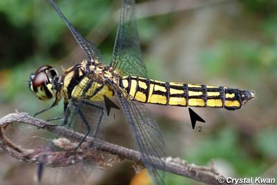 華麗寬腹蜻