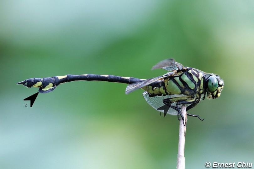 大團扇春蜓 Golden Flangetail