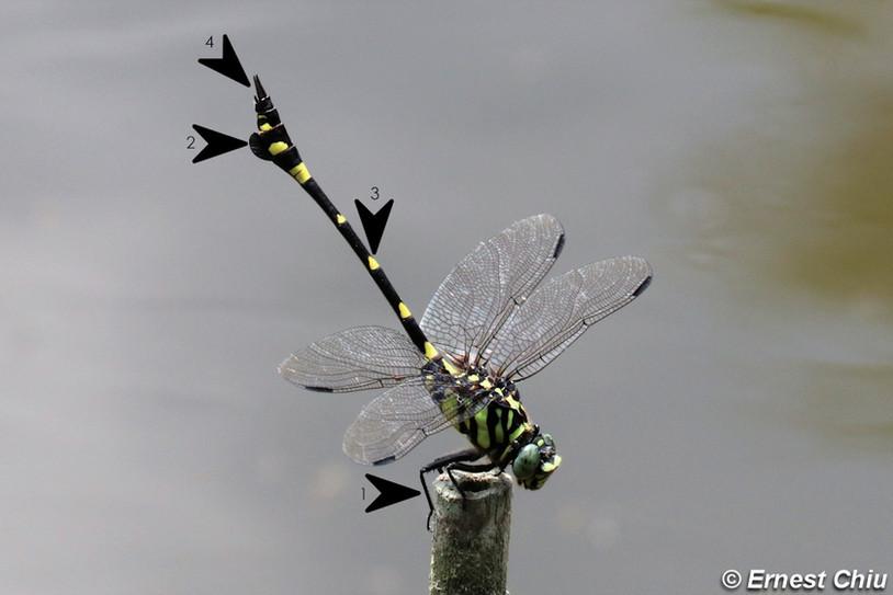 霸王葉春蜓 Common Flangetail