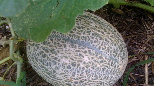 Hales Best Cantaloupe Seeds