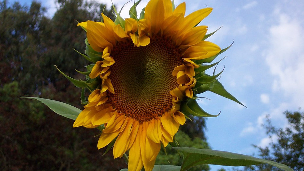 Mammoth Grey Sunflower Seeds