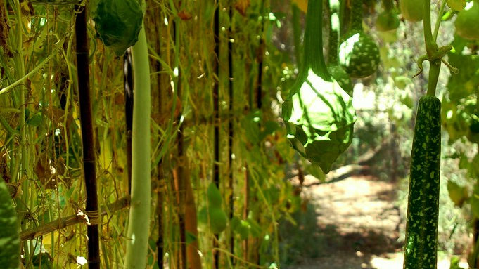 Long Handle Dipper Gourd Seeds