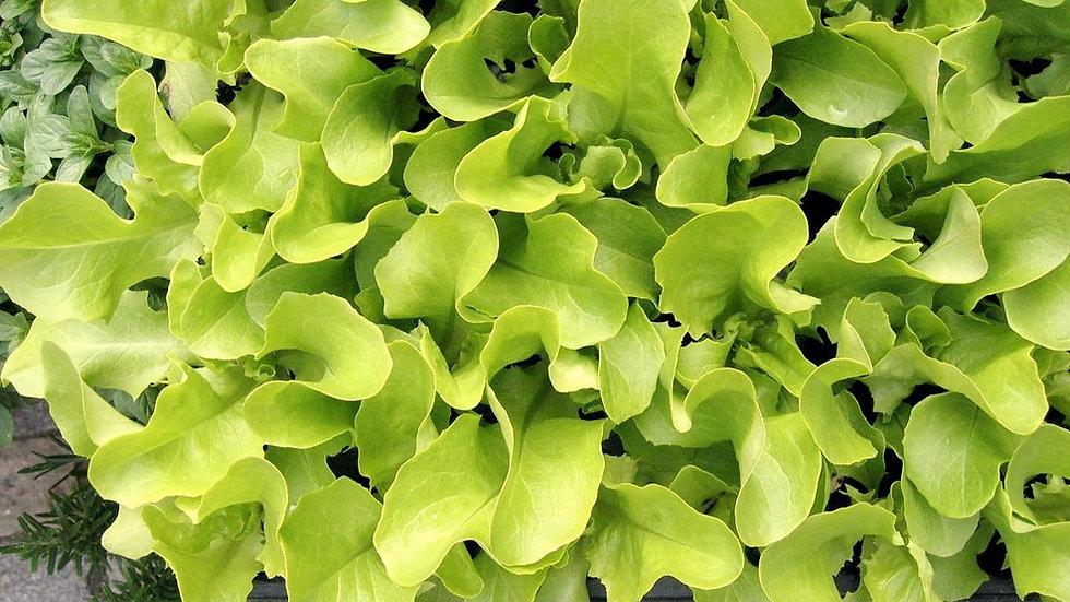 Corn Salad Seeds