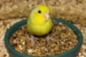 Canary sitting in bird bowl