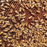 honey bee removal