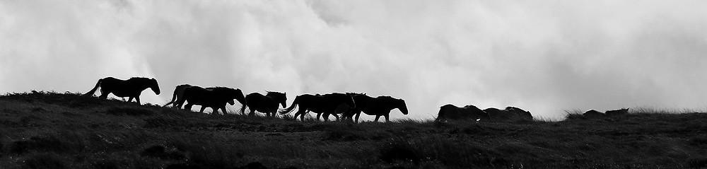 Wild Ponies on Lundy Island