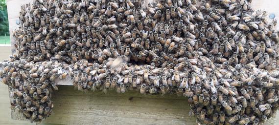 bee bearding1.jpg