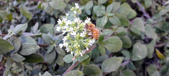 bees love oregano.jpg