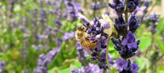 bee on the rosemary.jpg