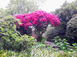 Rhododendron trees in flower