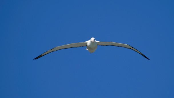 Royal Albatross in Flight