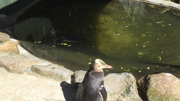 Yellow Eyed Penguin Returning to the Nesting Area from the Ocean