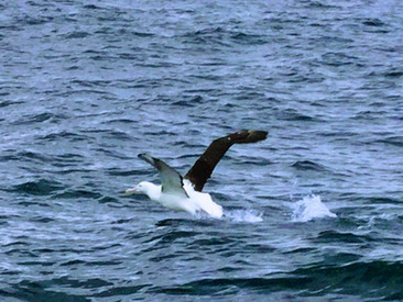 Albatross from wildlife cruise