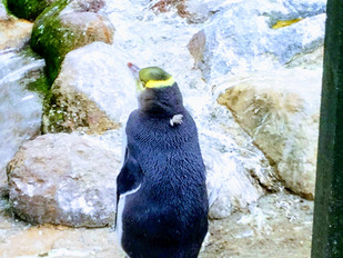 Yellow Eyed Penguin going through the last stage of moulting