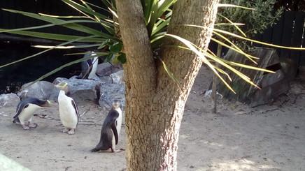 Yellow Eyed Penguins at Penguin Place rehabilitation centre