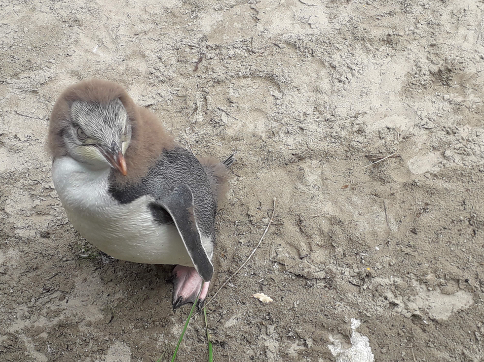 Yellow Eyed Penguin Chick is changing its feathers