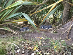Yellow Eyed Penguins in The Nesting Area