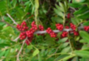 pistacia lentiscus.jpg