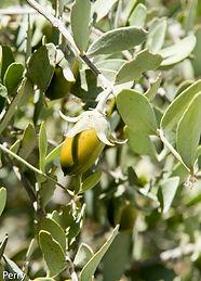 Simmondsia-chinensis.jpg