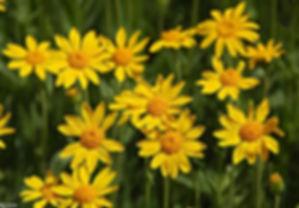 arnica montana.jpg