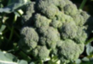 brassica oleracea .jpg