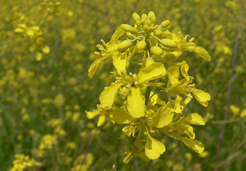 brassica nigra.jpeg