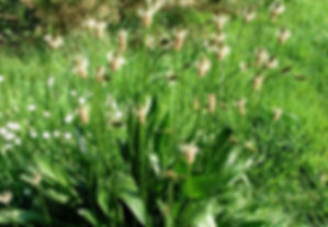 plantago lanceolata.jpeg
