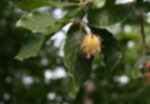 fagus orientalis.jpg