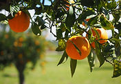 Portakal Ağacı.jpg