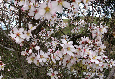 prunus dulcis var. amara.jpg