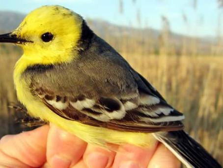 Küresel Büyük Gün'de (Global Big Day) Toplam 110 Kuş Türünün Gözlemlendiği Kars Türkiye Birincis