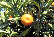 mandalina_Citrus reticulata Blanco.jpg