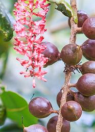 Hawaii_Cevizi_Macadamia_ternifolia.jpg