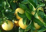 Greyfurt_Citrus_paradisii.jpg
