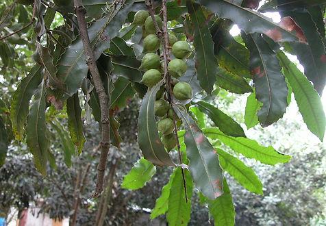 macadamia ternifolia.jpg