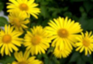 doronicum pardalianches.jpg