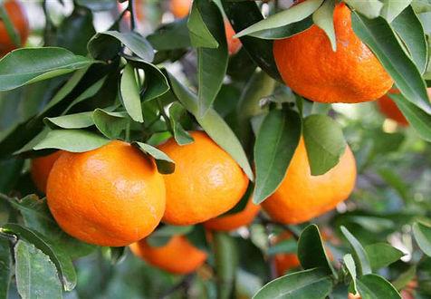 citrus reticulata blanco.jpg