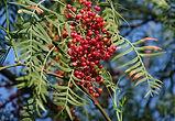 Karabiber Ağacı.jpg