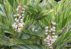 alpinia officinarum.jpg