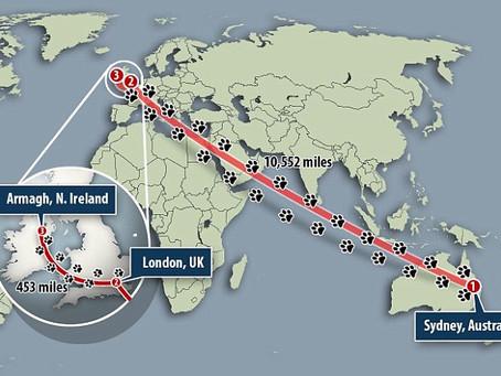 Avustralya'da Kaybolan Kedi İrlanda'da Ortaya Çıktı