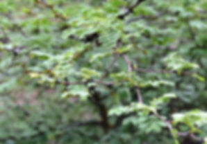 Acacia senegal .jpg