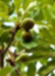 Butyrospermum_parkii_shea_karite.jpg