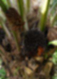 Elaeis guineensis.jpg